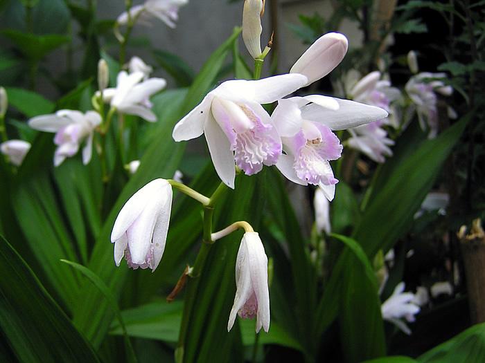 シラン (植物)の画像 p1_25