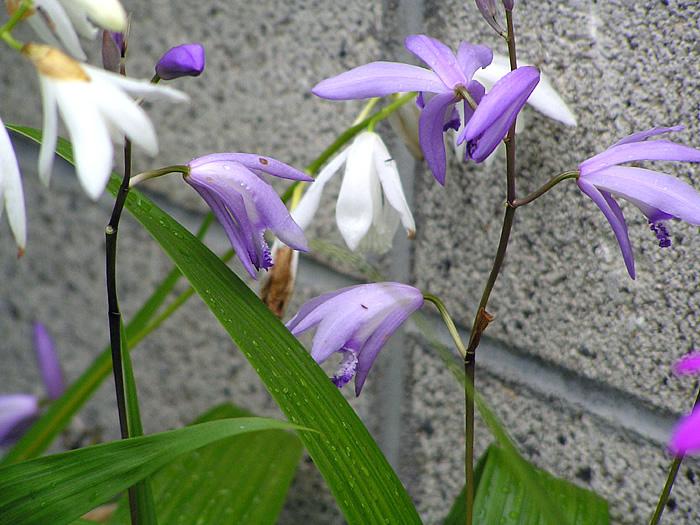シラン (植物)の画像 p1_22
