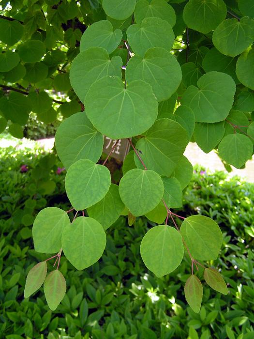 カツラ (植物)の画像 p1_29