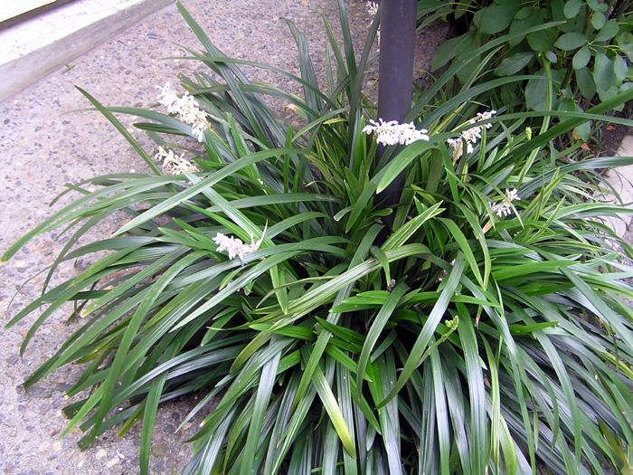 シラン (植物)の画像 p1_23