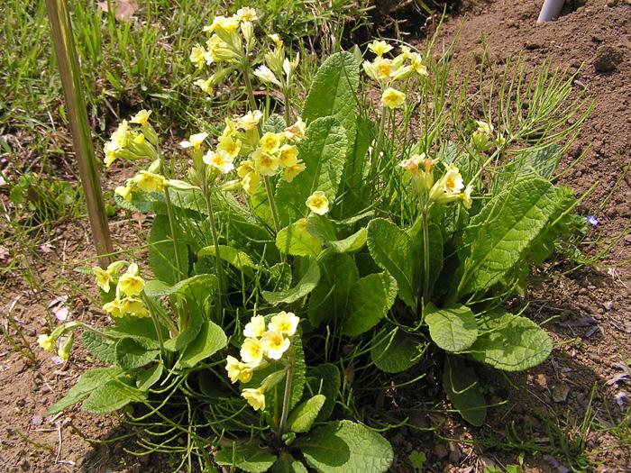 キバナノクリンザクラ | 植物写...