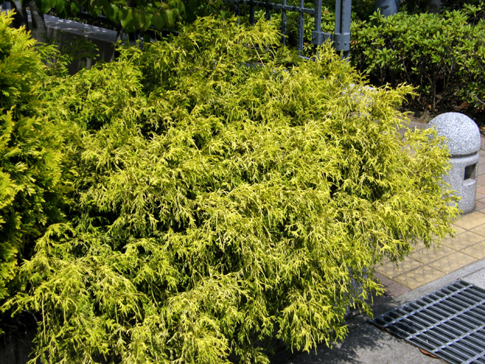 サワラ (植物)の画像 p1_37
