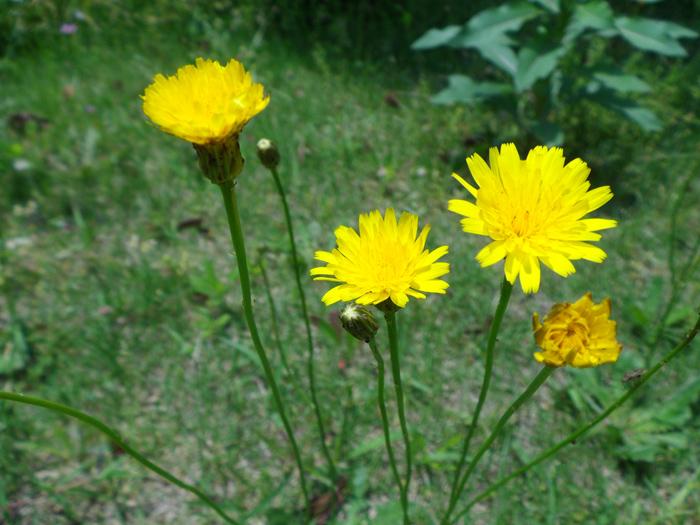 ブタナ | 植物写真鑑