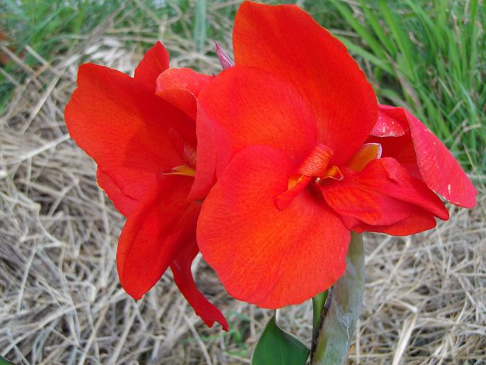 カンナ (植物)の画像 p1_38