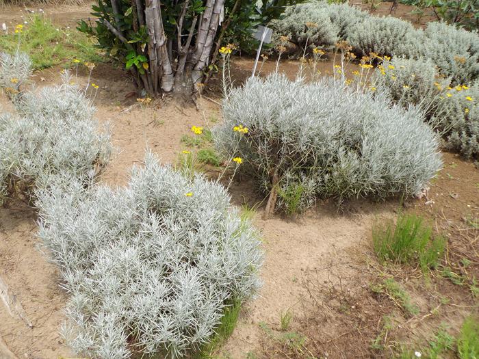 カレープラント | 植物写真鑑