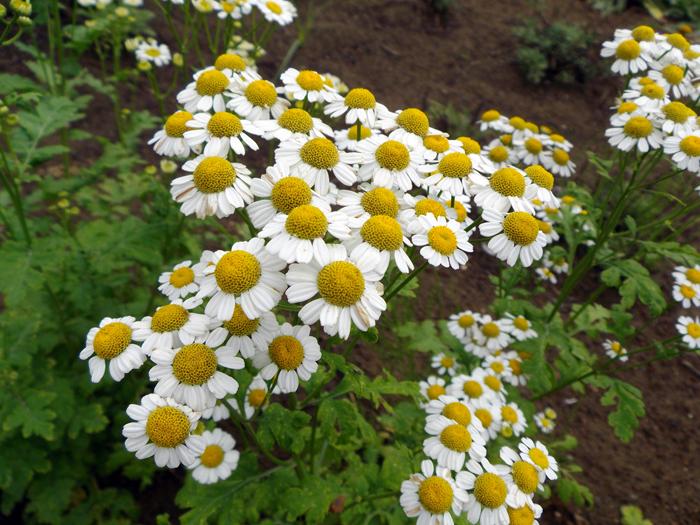 ナツシロギク | 植物写真鑑