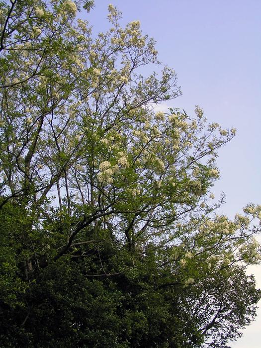 ニセアカシアの画像 p1_17