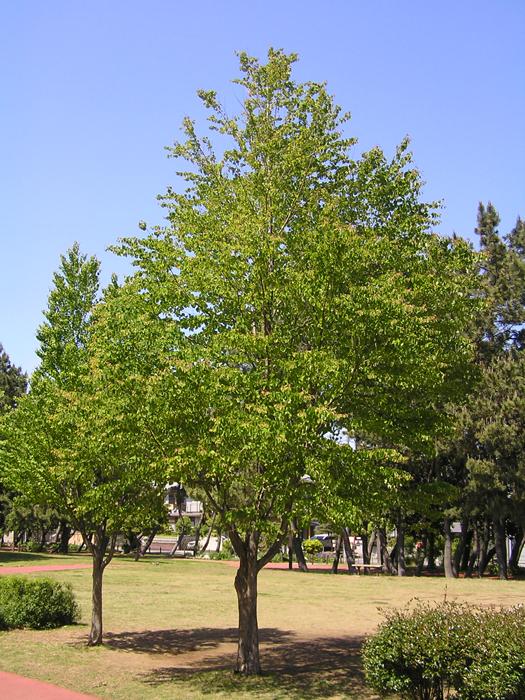 カツラ (植物)の画像 p1_32