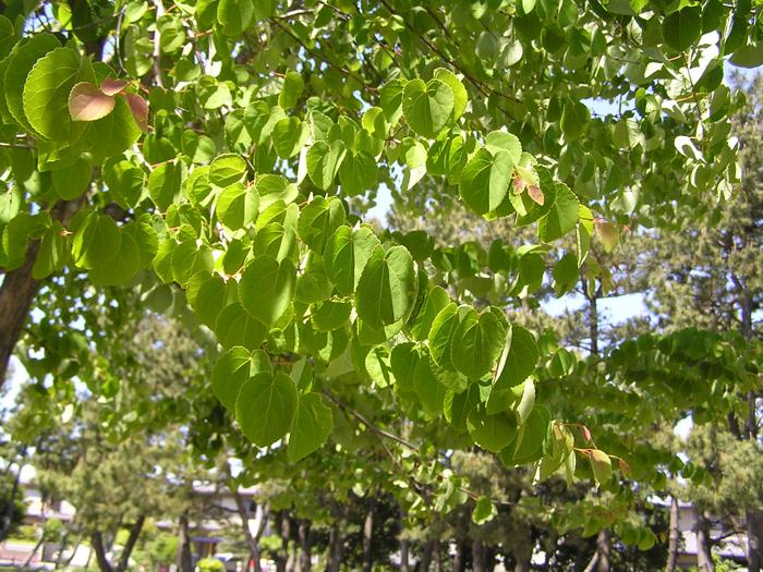 カツラ (植物)の画像 p1_30