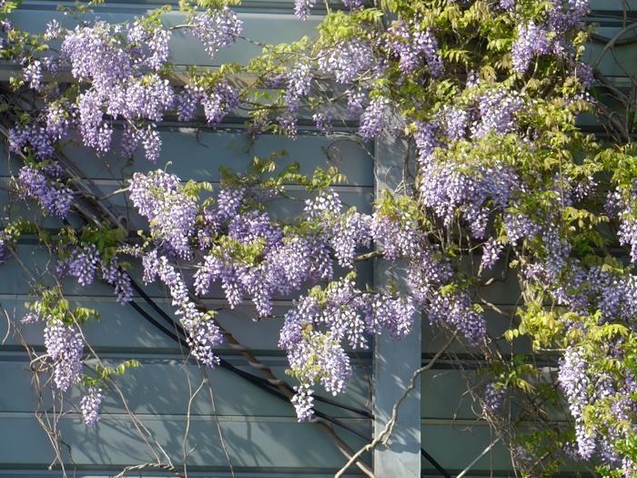 フジ (植物)の画像 p1_35