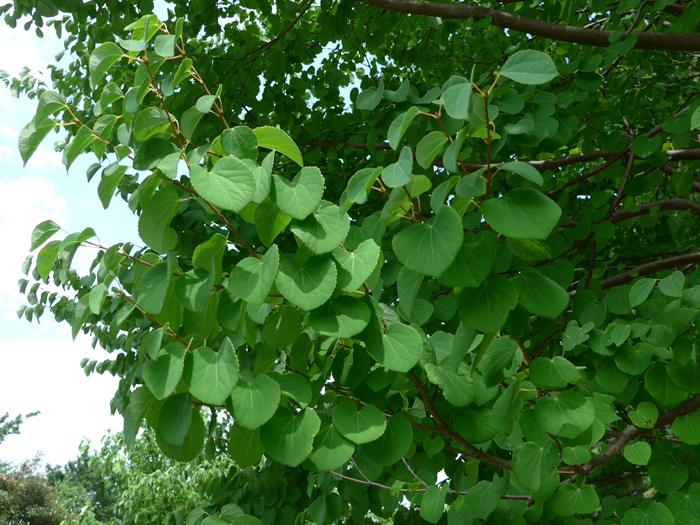 カツラ (植物)の画像 p1_34