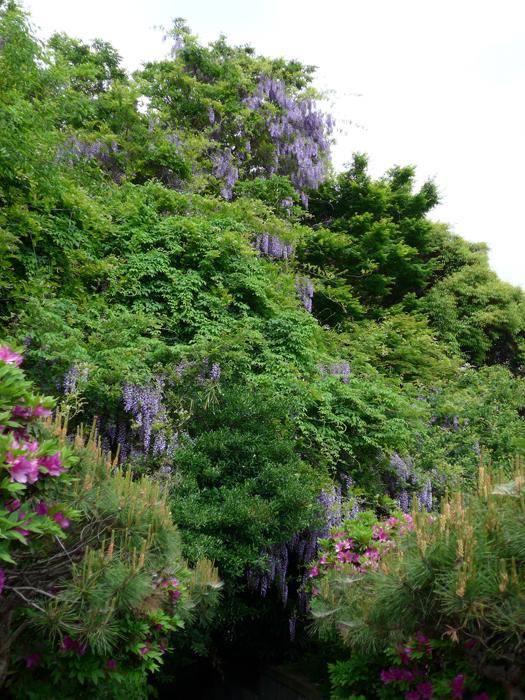 フジ (植物)の画像 p1_37