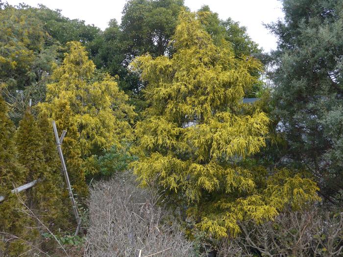 サワラ (植物)の画像 p1_23