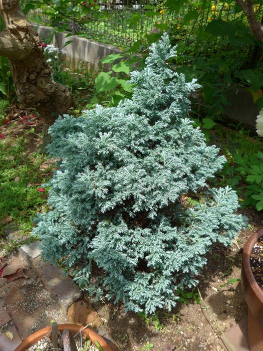 サワラ (植物)の画像 p1_24