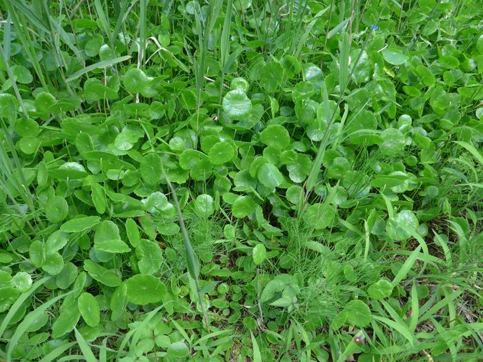 ウチワゼニクサ | 植物写真鑑